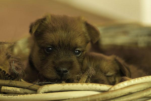 Australian Terrier von den Gtrauen Anfurten