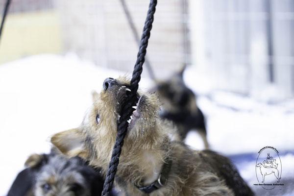 Australische Terrier von den Grauen Anfurten