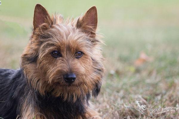 Australian Terrier & Deerhound Zucht/Welpen www.von-den-grauen-anfurten.nl