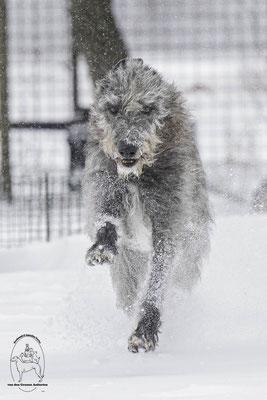 Deerhounds von den Grauen Anfurten