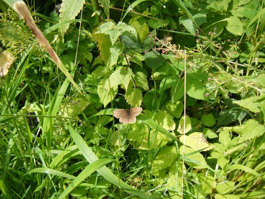 Foto 10: der dunkle Waldvogel oder Schornsteinfeger
