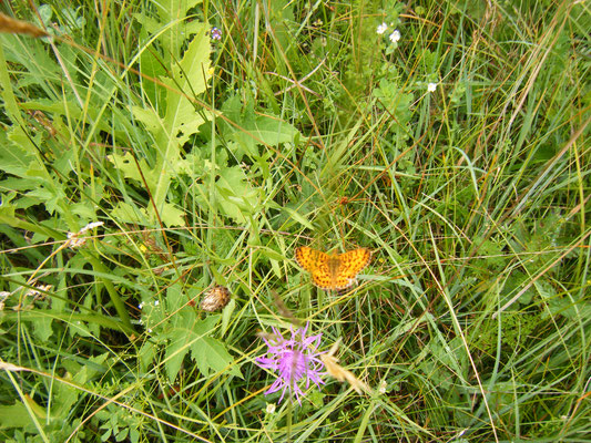 Foto 3: der kleine Sumpfwiesen-Perlmuttfalter mit nur 4 cm Spannweite, auch der Mädesüß-Perlmuttfalter wurde im Frühjahr hier schon gesichtet