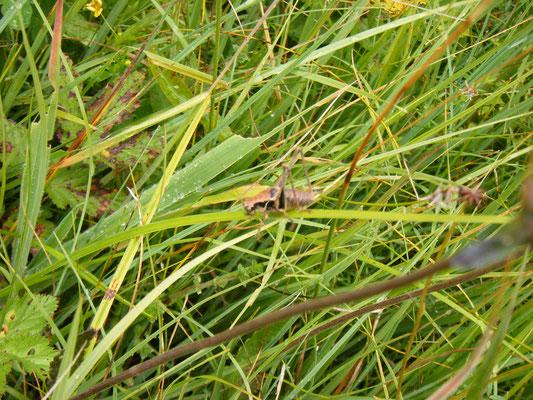 Foto 12: selbstverständlich ist der Birkenweiher auch Heimat für eine wimmelnde Schar von Heuschrecken- und Grillenarten bis hin zum großen Heupferd, hier eine majestätische Strauchschrecke