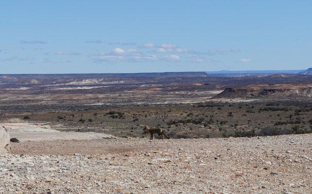 Un renard gris ou zorro