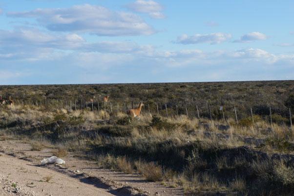 Le reste du troupeau est de l'autre côté de la route !
