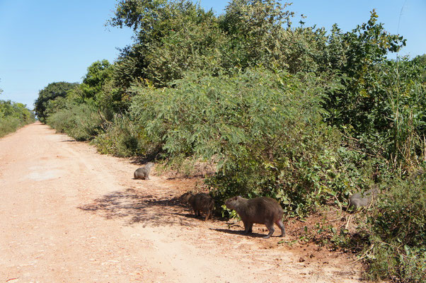 Traversée de capybaras !