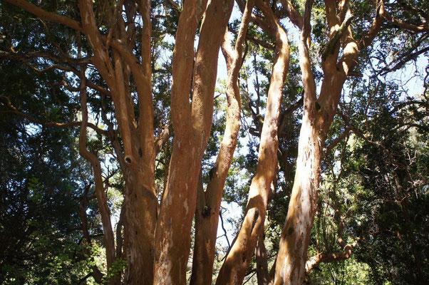 Des arbres à l'écorce cannelle et qui ont inspiré la forêt de Bambi !