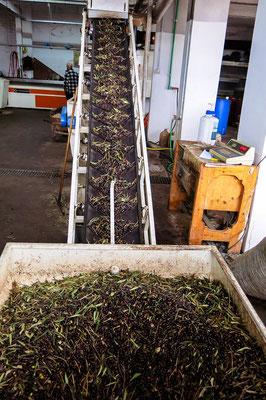 Oliven auf dem Förderband