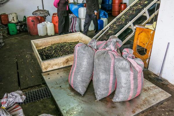 Olivensäcke auf der Waage. 400 Kg werden für eine Presse benötigt.