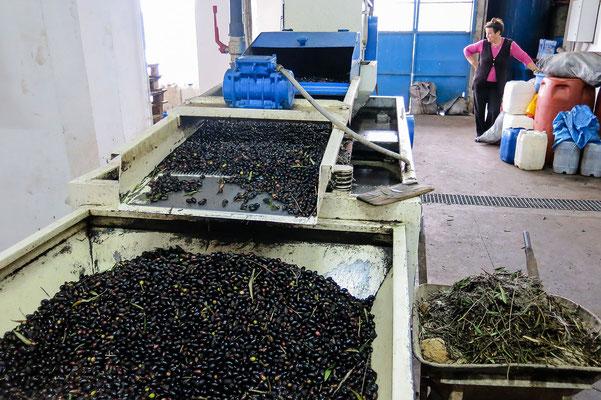 Oliven und Blätter werden getrennt