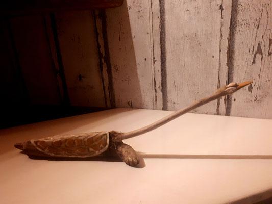 Schildschwan