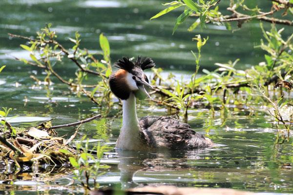 Abwehrstellung am Nest / Foto: Wolfgang Scholz