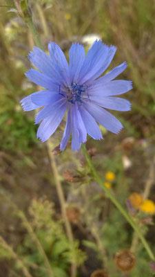 Natternkopf - Echium-vulgare / Foto: Christine Kammel