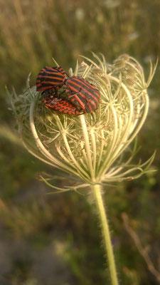 Dolde der Wilden Möhre mit schwarz roten Streifenwanzen / Foto: Christine Kammel
