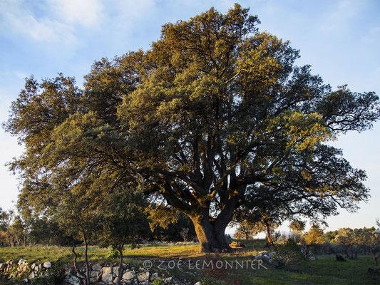 Le chêne de Saint Joseph