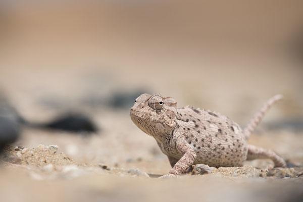 Chaméléon du Namaqua