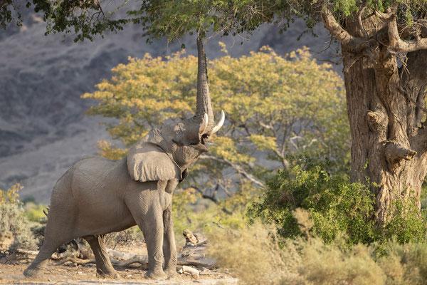 Éléphant du désert