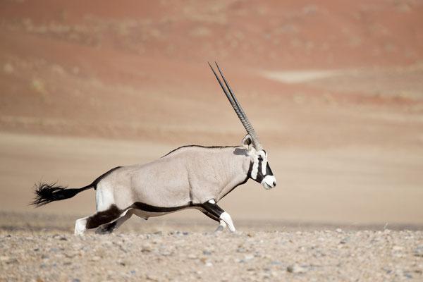 Oryx dans les dunes du Namib