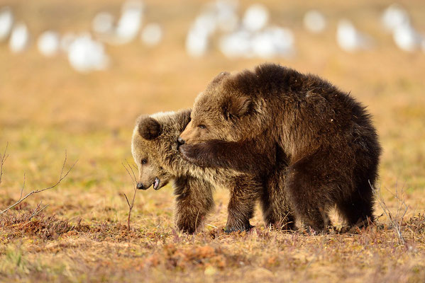 jeunes ours bruns
