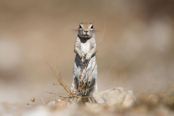 Écureuil terrestre