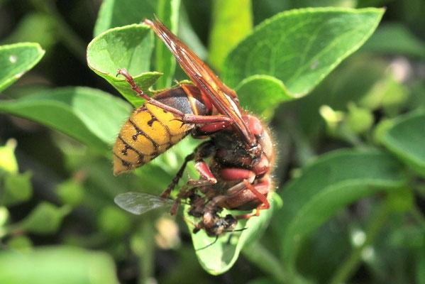 Hornisse hat eine Biene gefangen und verspeist sie