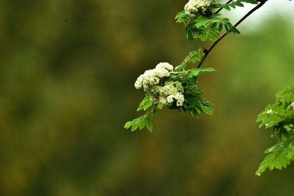 die Eberesche blüht