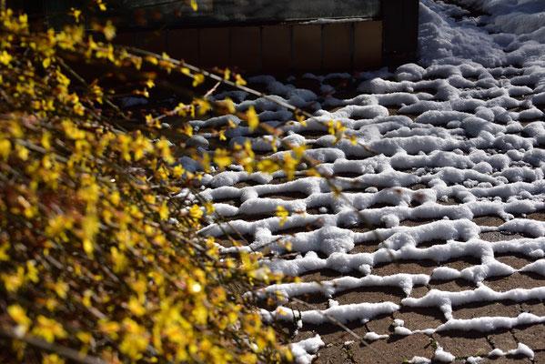 der Winterjasmin im Schnee