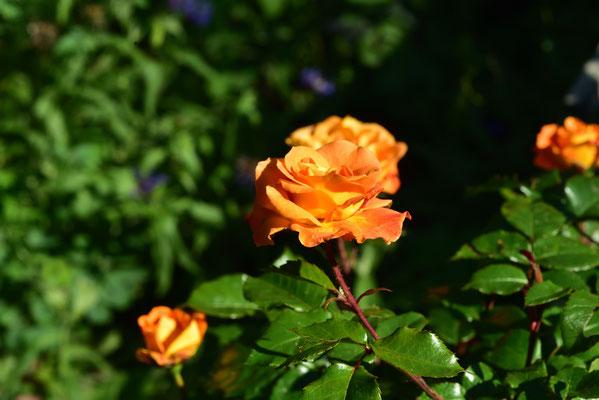 eine aprikosenfarbene Rose in der Abendsonne