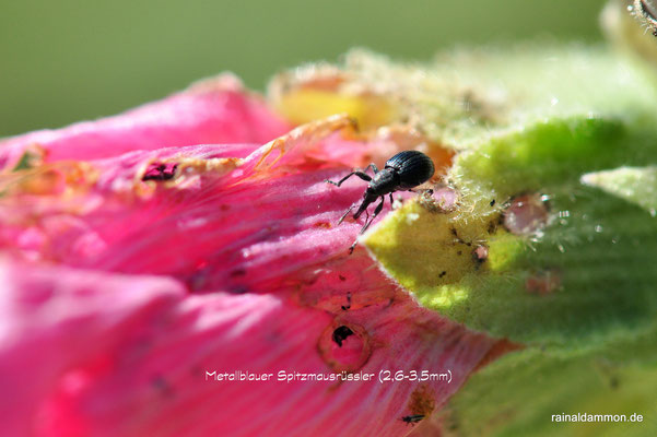 ein Metallblauer Spitzmausrüssler an einer Malvenblüte, er ist winzig, höchstens 3,6mm