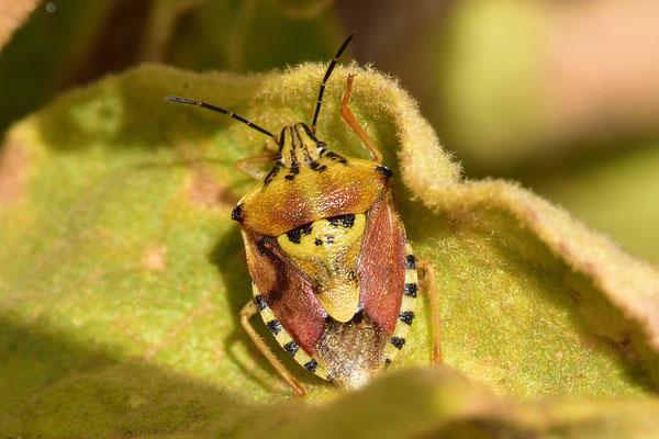 was für ein Prachtexemplar! Carpocoris pudicus