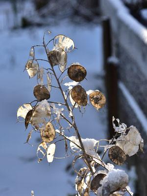 auch im Winter schmückt die Blume den Garten