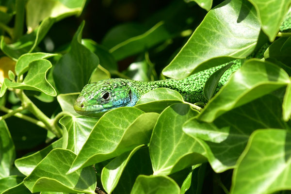Endlich! Heute hat sich die Smaragdeidechse gezeigt, ein sehr photogenes Model!