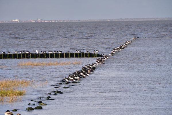Austernfischer warten geduldig auf das Ende der Ebbe