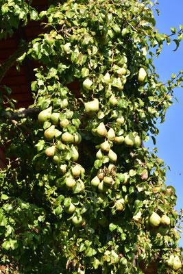 Birnenfülle in diesem Jahr