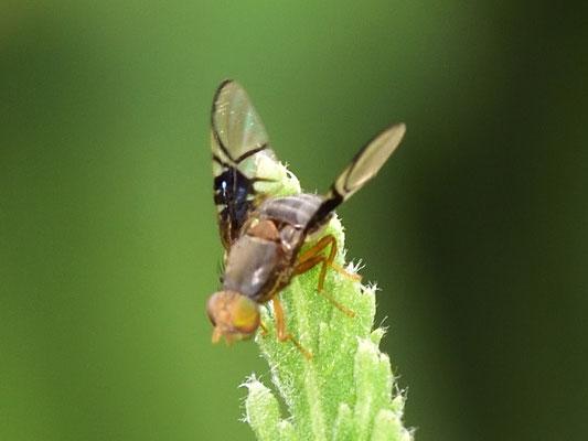 eine Fruchtfliege Anomoia purmunda