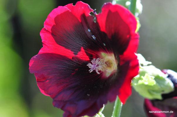 Malvenblüte im Gegenlicht