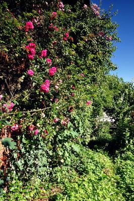 die Rosen bedecken die Ostseite des Hauses