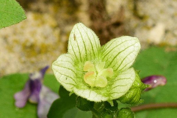 Blüte der Roten Zaurübe
