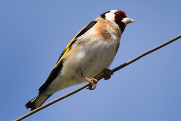 Vogel des Jahres, der Stieglitz oder Distelfink