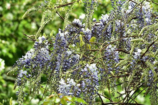 Blauregen bzw.Glyzinie in Blüte