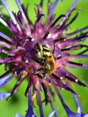 ein Gebänderter Pinselkäfer auf einer Flockenblume