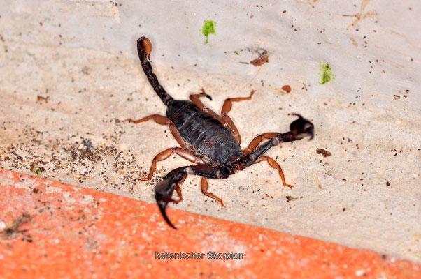 Italienischer Skorpion auf der Terrasse