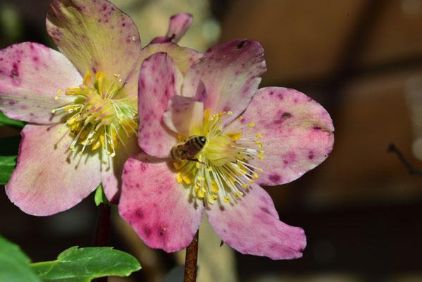ein Bienchen sucht nach Futter an der blühenden Christrose