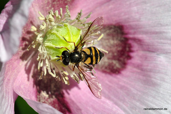 eine Schwebfliege an einer Mohnblüte