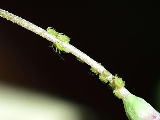 auch sie sind wieder da, die Blattläuse im Wintergarten