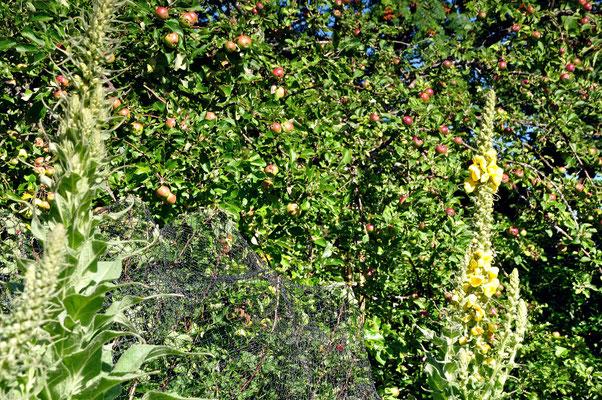 eine Königskerze in voller Pracht und im Hintergrund leuchten die Äpfel am Baum
