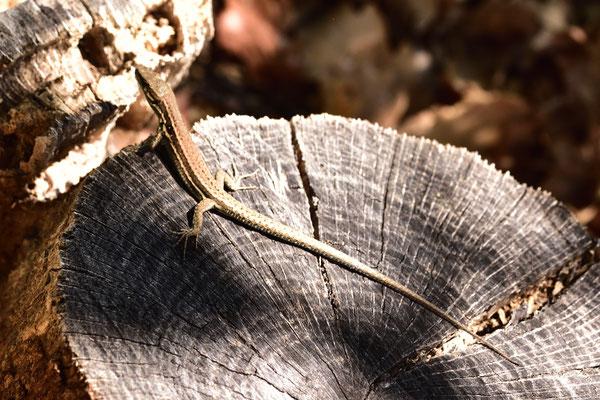 Eidechse auf Baumstumpf