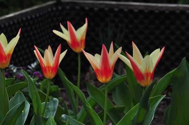 die frühen Tulpen leuchten in der Frühlingssonne