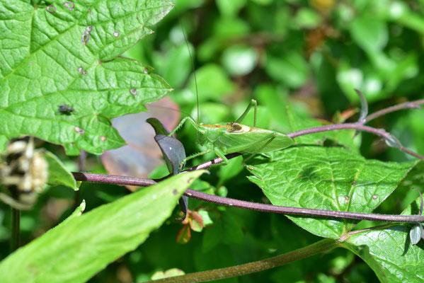 fast übersehen: ein grüner Heuschreck
