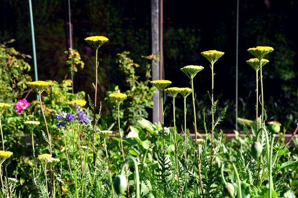 Schafgarbe reckt ihre Blüten der Sonne entgegen